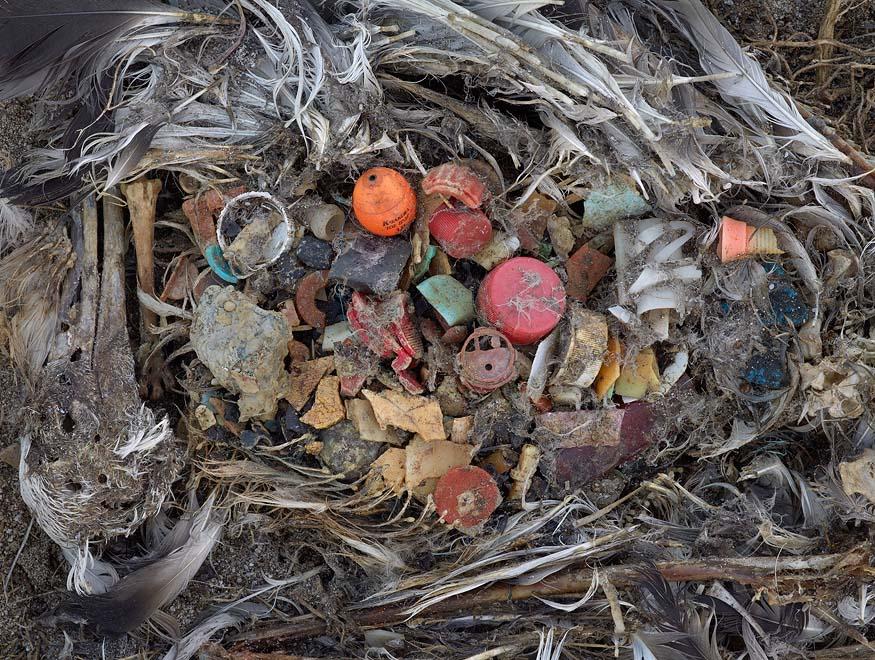 佈滿塑料的中途島鳥屍。(圖片來源:Chris Jordan)